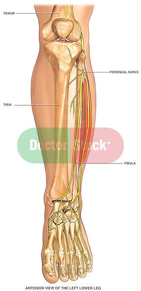 Normal Anatomy of the Left Lower Leg Bones. Includes tibia, fibula, femur, patella, ankle and foot bones.