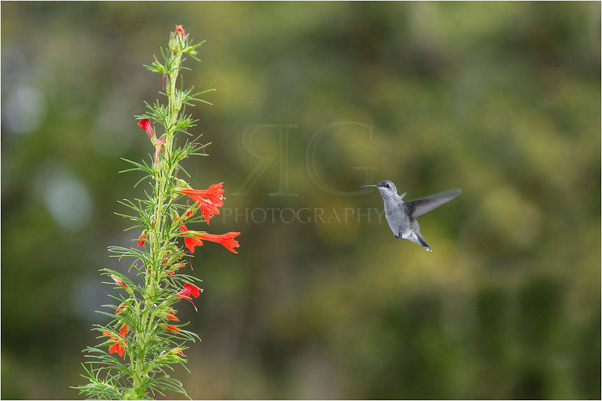 It is no bluebonnet image, but this Texas Wildflower image features the first hummingbird of the 2013 season. I noticed he was curious as he zoomed around this red Texas Sage on my property. When the lighting was better, I set up with a telephoto lens and waited. Sure enough, he came back. I had to take a fair amount of shots before I captured this Texas wildflower picture with a hummingbird, but my patience was rewarded.