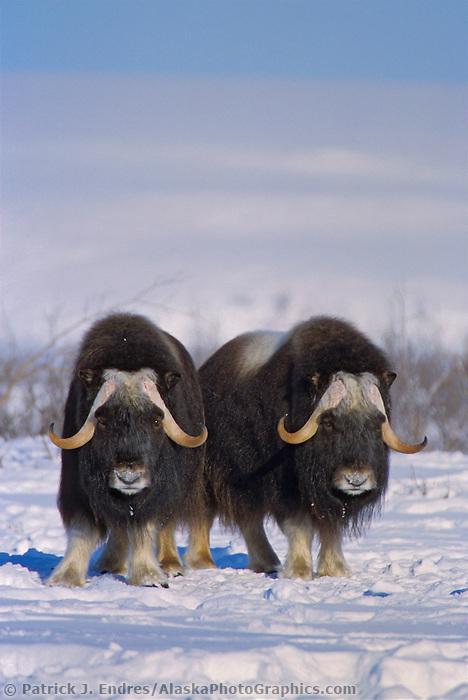 Young Musk Ox on Alaska's snowy Arctic Coastal Plain, Arctic National Wildlife Refuge.