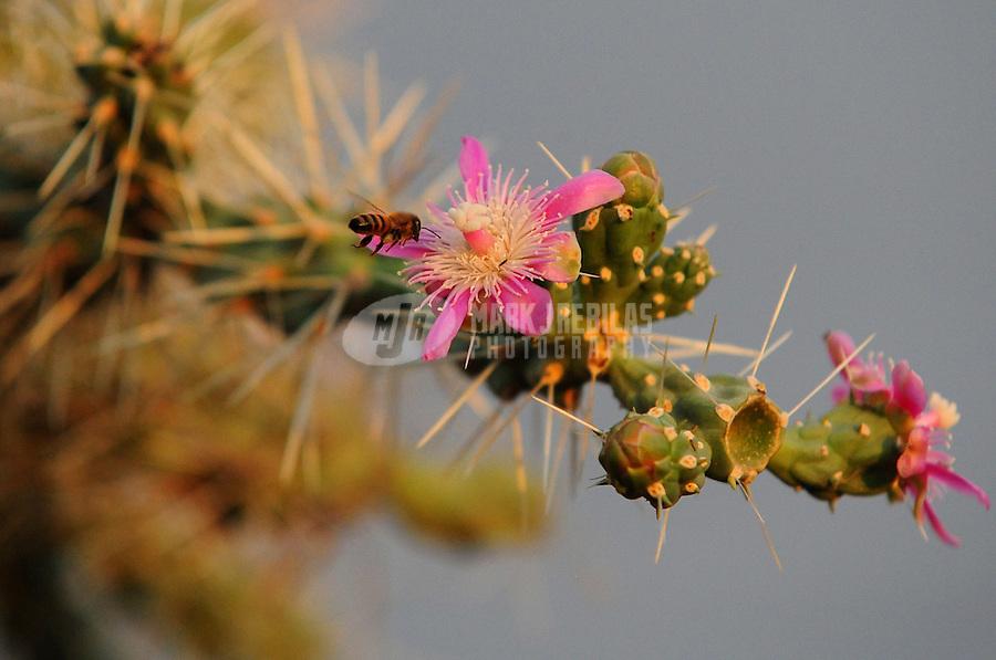 Desert cactus Arizona nature saguaro cholla flower bee pollen pollination needle pink