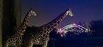 Giraffes at Taronga Zoo enjoying the view  of Sydney Harbour Bridge during the 2016 Vivid Light Festival