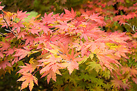 japanese maple, Arnold Arboretum, autumn, Boston, MA