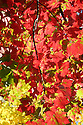 Red and yellow autumn leaves with branch