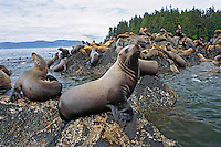 Northern or Steller Sea Lions (Eumetopias jubatus) herd hauled out on coastal rocks, Pacific Northwest.