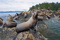 Northern or Steller Sea Lions (Eumetopias jubatus) herd hauled out on coastal rocks, Pacific Northwest.