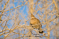 Ruffed grouse feeds in Quaking aspen tree, Fairbanks, Alaska