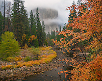 Yosemite National Park, CA;A view of El Capitan in the fog along the Merced River with a dogwood in fall color.
