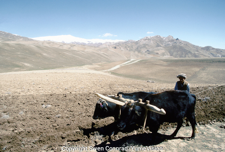 A Hazara farmer plough is field for grow wheat, next to the Shebar Pass at 2987 meters high. Hazarajat, Afghanistan.