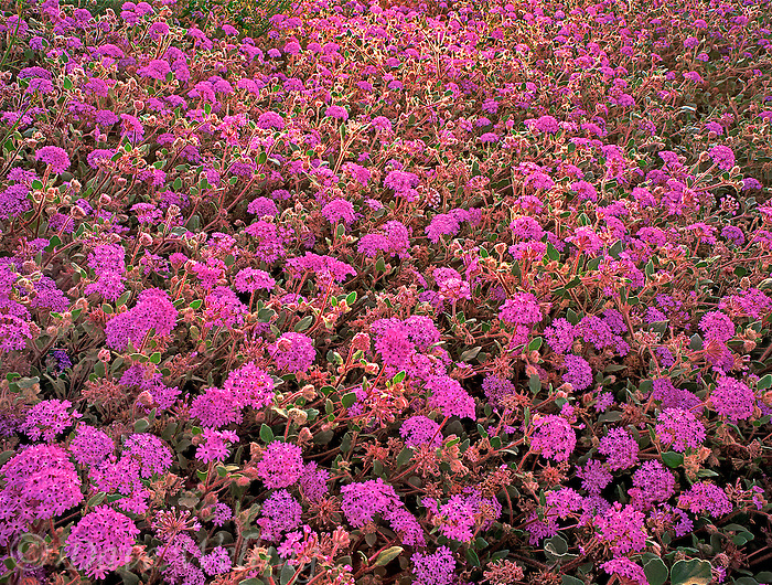196850019 a field of flowering desert sand verbena wildflowers abronia villosa back lighted in anza borrego desert state park california