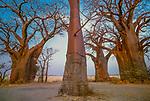 "Baobab trees, Nxai Pan National Park, Botswana , Baines' baobab grove (""discovered"" by Thomas Baines in 1862)"