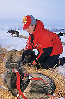 Veterinarian Margy Terhar checks sled dogs for health during the 1000 mile Yukon Quest trail to Whitehorse, Canada, Steese mountains, 100 miles from Fairbanks, Alaska