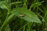 Juvenile Western Chorus Frog