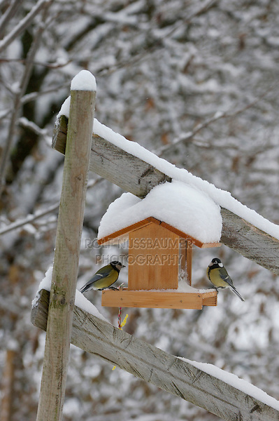 Great Tit, Parus major, males on feeder with snow, Oberaegeri, Switzerland, Dezember 2005