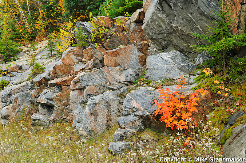 Red maple tree sapling and rocks at edge of boreal forest<br /> Gogama<br /> Ontario<br /> Canada