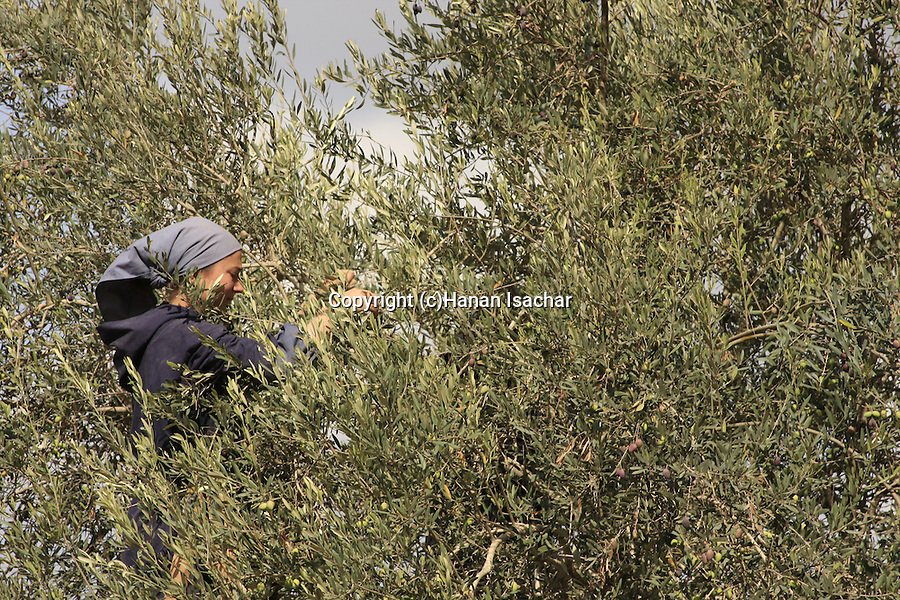 Israel, Shephelah, Olive picking by the Sisters of Bethlehem in Beth Gemal