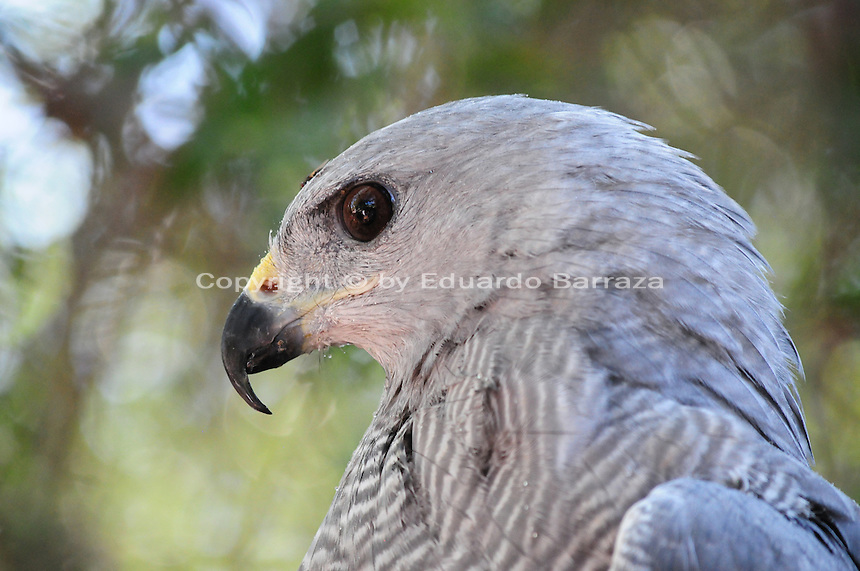 Superior, Arizona (September 21, 2014) -- A gray hawk kept in captivity by the Arizona State Park system is seen at the Boyce Thompson Arboretum State Park. As September 20 brings the Autumn Equinox, marking the end of the summer, a flock of turkey vultures that make the Boyce Thompson Arboretum in Superior, Arizona their home from March to September each year, are about to begin their annual migration.  Photo by Eduardo Barraza © 2014