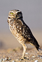 Burrowing Owl, Sacramento National Wildllife Refuge, California