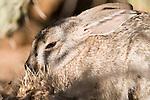 Tucson, Arizona; Desert Cottontail (Sylvilagus audubonii)