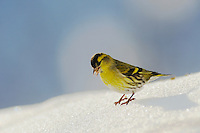Eurasian Siskin (Carduelis spinus), male eating seeds on snow, Zug, Switzerland, December 2007
