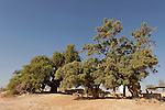 Israel, the Arava region. Jujube and Tamarisk trees in Ein Hatzeva