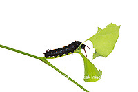 30040-00204 Pipevine Swallowtail Caterpillar (Battus philenor) eating Dutchman's Pipevine on white background, Marion Co., IL