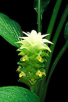 A green-and-white bract of olena (Curcuma domestica) amongst foliage
