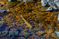 Brook trout (Salvelinus fontinalis) spawning in small mountain stream in Beartooth Mountains near the Montana/Wyoming border.  Fall.  Male trout take on much brighter colors when spawning is near.