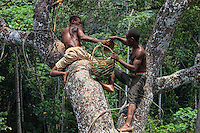 "At over 40 metres above the ground, the honey-hunters smoke the bees and gather the honey from the forest canopy. During the little honey season in April and May, the harvests are smaller than during the big season in August and September. Several nests are harvested each day. The period with an abundance of honey is called ""Nbosso"", August September. Everybody is in the forest and there's no one left in the village. It's during this period that the ""Douma"", the honey wine, is made.///A plus de 40 mètres du sol, les chasseurs de miel enfument les abeilles et récoltent le miel de la canopée. Pendant la petite saison du miel en mars avril, les récoltes sont moins importantes que lors de la grande saison du miel en août septembre. Plusieurs nids sont récoltés chaque jour. La période de l'abondance du miel est appelée « Nbosso » Aout Septembre. Tout le monde est en forêt et il n'y a plus personne au village. C'est pendant cette période qu'est fabriqué le « Douma », le vin de miel."