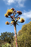 Bloom stalk of Agave Shawii, (common name: Shaw's agave or coastal agave), at the Santa Barbara Botanic Garden; Santa Barbara; Santa Barbara County; California; CA; USA