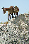 Female Spanish Ibex with juvenile standing on edge of boulder. Andalucia, Spain. ( capra pyrenaica )