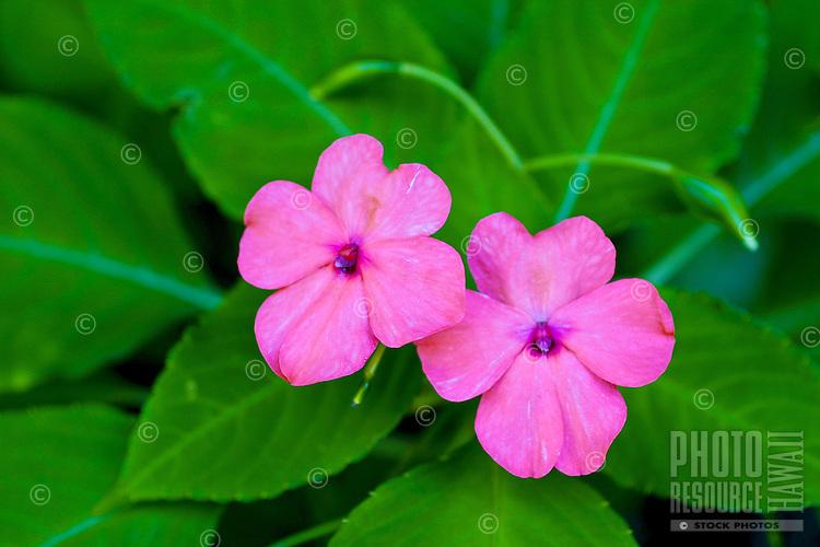 A beautiful pair of lavender Impatien flowers.