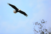 Bald Eagle in New Smyra Beach, Florida