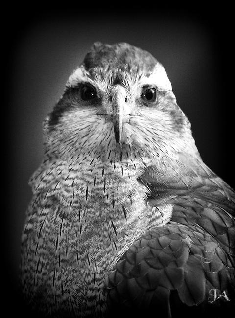 Goshawk Portrait taken in a zoo.  Great Red Eyes.