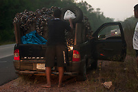 Catadores de caranguejo transportam,  cerca de sete mil crustáceos capturados nos manguezais de Bragança no litoral do Pará para distribuição nos municípios de Anaetetuba, Mojú, Igarapé Miri. Os espécime trazidos em uma pequena camionete sustemtam a família  <br /> Foto Paulo Santos<br /> 03/10/2010