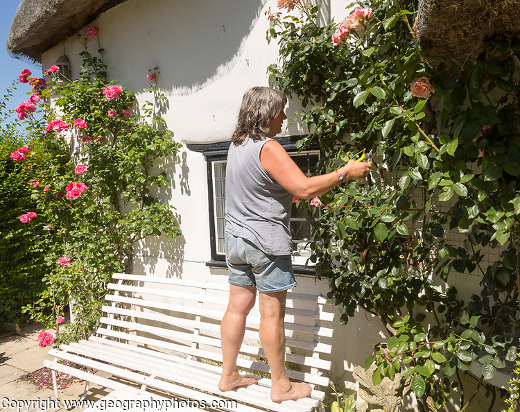 Woman pruning roses outside country cottage, Cherhill, Wiltshire, England, UK model and property release available