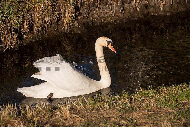 Schwan, Höckerschwan, Swan, Mute swan, Cygnus olor, Entenvögel, Waterfowl family, Anatidae, Mauren, Rheintal, Rhine-valley, Liechtenstein.