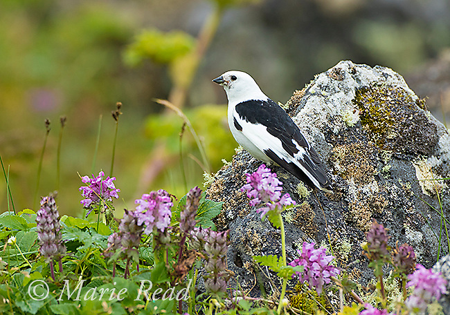 Snow Bunting (Plectrophenax nivalis) male in breeding plumage, among lichen-covered rocks and vegetation, St. Paul Island, Pribilofs, Alaska, USA