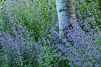 Catmint and aspen trunk