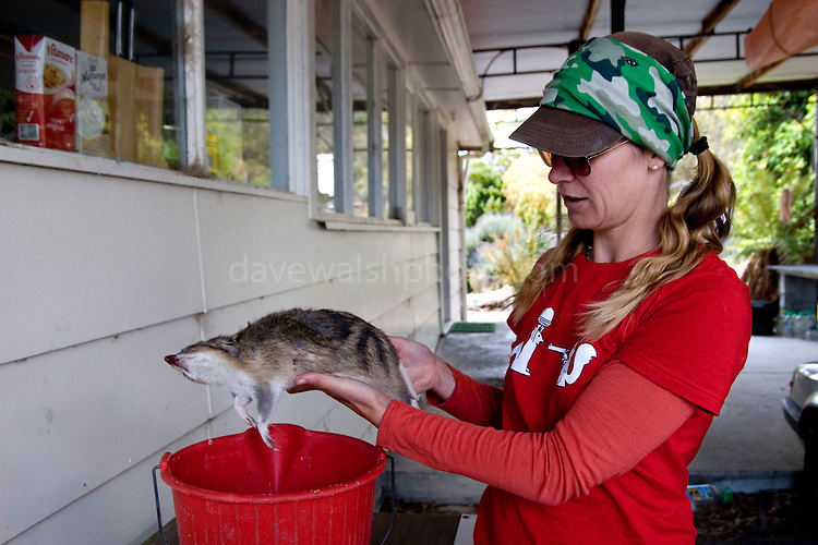 Scientist Christine Pukk with a roadkill bandicoot to feed to her catpive Tasmanian Devils, which are orphans, seperated from parents suffering from the Tasmanian Devil Facial Tumor Disease, which is a contagious cancer.