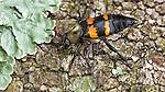 A Sexton Beetle.
