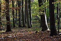 Autumn Beech, Stoke woods, Oxfordshire