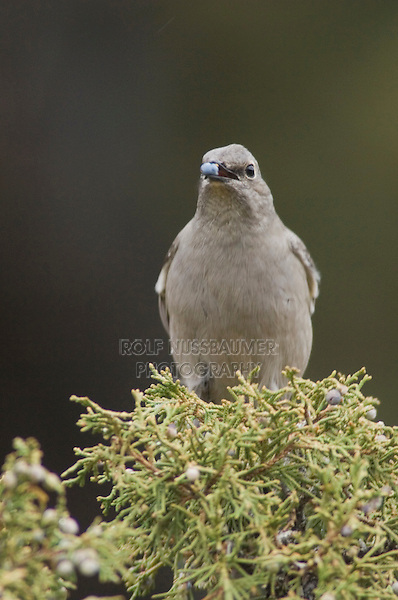 Townsend's Solitaire, Myadestes townsendi, adult on juniper tree eating berry, Yellowstone NP,Wyoming, USA