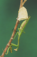 Praying Mantis (Mantis religiosa), female laying eggs, Raleigh, Wake County, North Carolina, USA