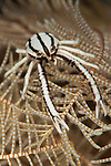 crinoid squat lobster: Allogalathea elegans, frontal view on crinoid feather star, Tulamben, Bali