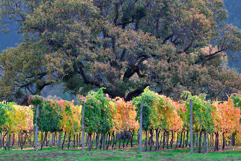 Vineyard and oak tree in fall color. Near Applegate, Oregon