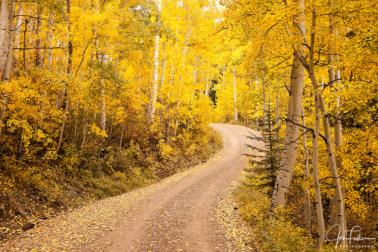 A dirt road curves through an aspen forest of fall color in the La Sal Mountains near Moab, Utah, USA.