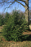 15210-CD Eastern Hemlock, Tsuga canadensis, Pennsylvania State Tree, in March at US National Arboretum, Washington DC USA