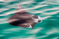 reef manta ray, Manta alfredi, swimming just under the surface, Big Island of Hawaii, ( Central Pacific Ocean )