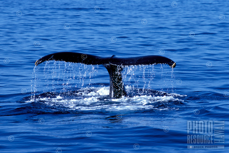 Humpback whale tail with water drops during a fluke up dive, offshore Maui.