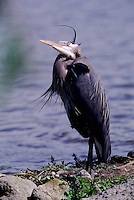Great Blue Heron (Ardea herodias) standing on Shore beside Lake, looking up